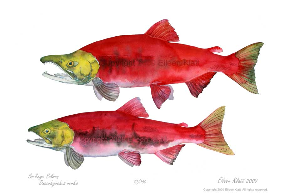 how to fish for sockeye salmon